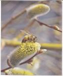 Ein Zweig mit blühenden Palmkätzchen und einer Biene